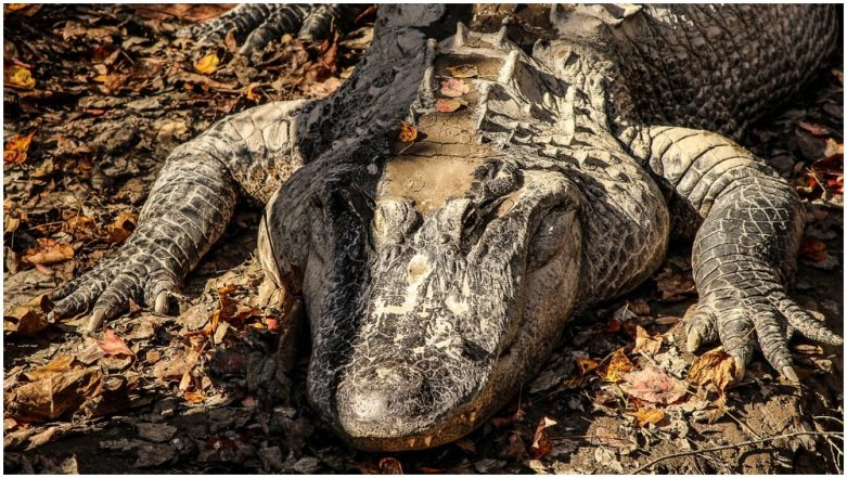 Record-Breaking Alligator Caught by Hunters in Georgia! Video of 14-foot-long Reptile Goes Viral