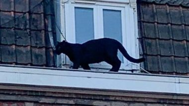 Black Panther Found Roaming On French Rooftops