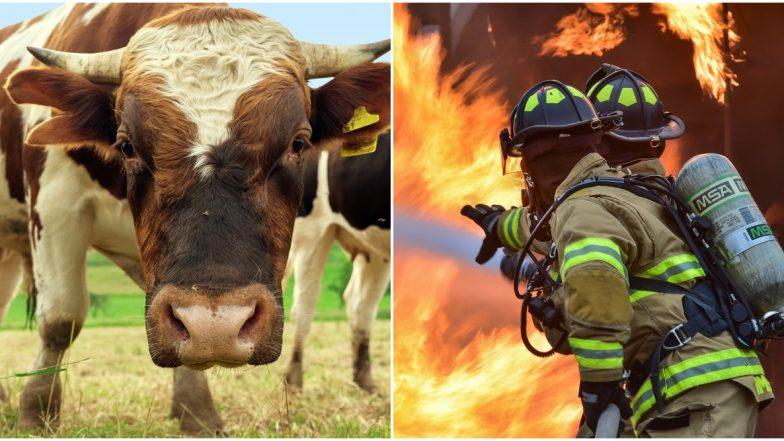 Bull Semen Explosion in Farm Leaves Australian Firefighters in a 'Sticky' Situation (Watch Video)