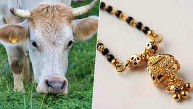 Ahmednagar: Bull Swallows Mangalsutra Worth Rs 1.5 Lakh, Vets Operate And Recover it From His Rectum