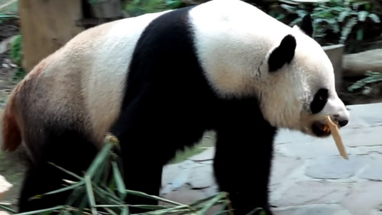 Celebrity Panda Chuang Chuang Dies Aged 19 at Chiang Mai Zoo in Thailand; His Adorable Videos Go Viral