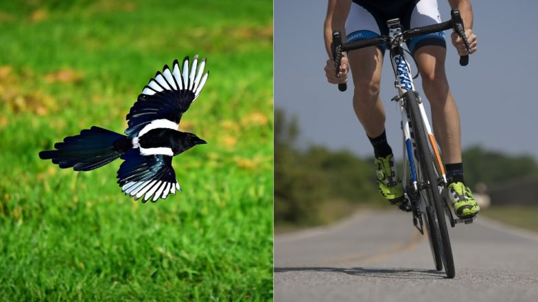 Australian cyclist dies while trying to escape swooping magpie