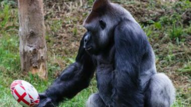 Gorilla Spotted Brushing Up Ball Skills at Paignton Zoo Ahead of Rugby World Cup 2019, See Pics