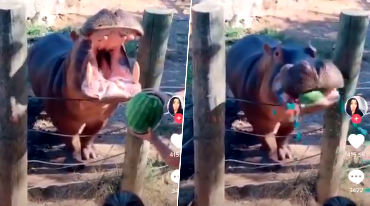 Texas Couple Criticised For Hurling Watermelon Into Hippo's Mouth For Gender Reveal Party; Says The Animal Was Not Harmed (Watch Video)