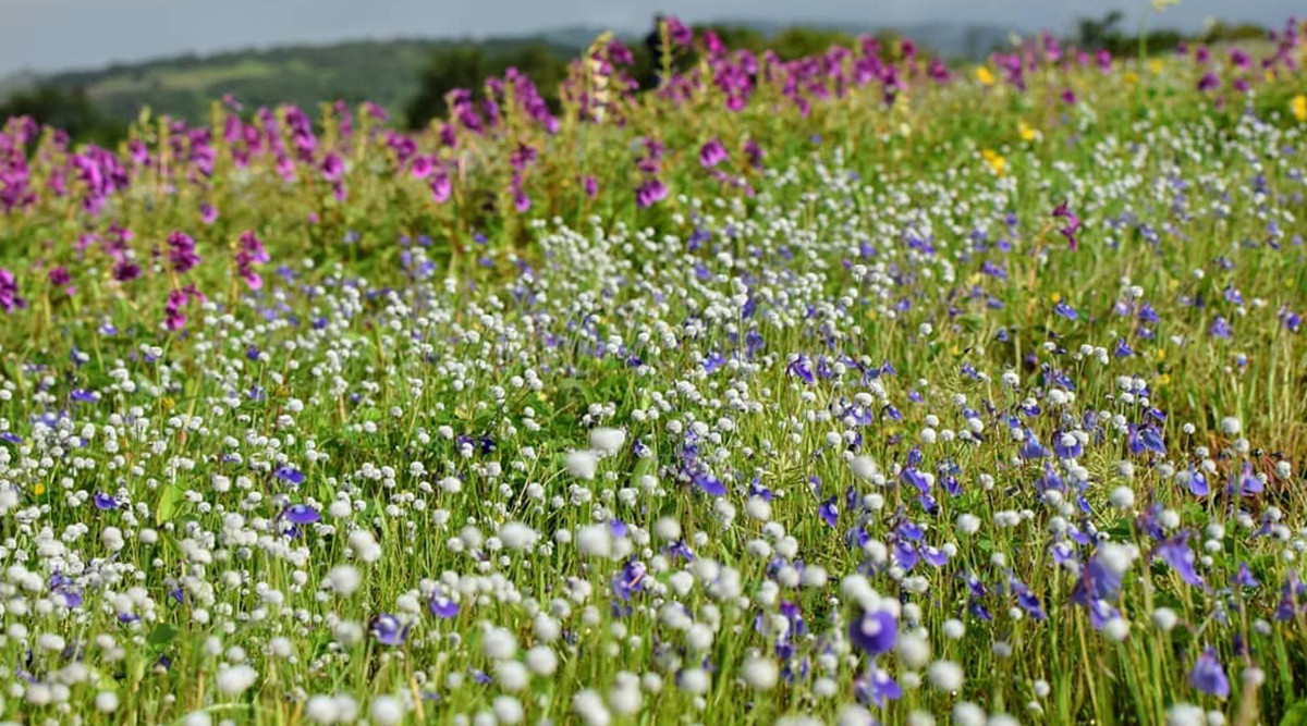Travel Tip of the Week: Explore Kaas Plateau, Maharashtra's Valley of Flowers This Season! Know Everything About This Biodiversity Hotspot