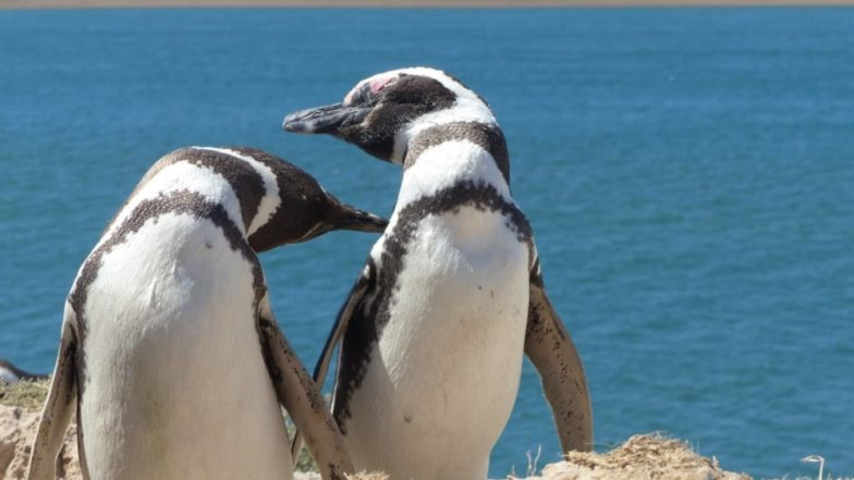 Gay Penguin Couple at London Aquarium to Raise 'Gender-Neutral' Chick They Adopted