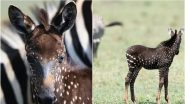 Rare Zebra Foal With Polka Dots Due to 'Melanin Disorder' Spotted in Kenyan National Reserve (See Pictures)