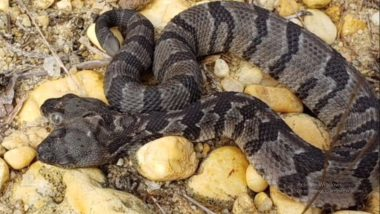 Rare Two-Headed Snake 'Double Dave', found in New Jersey Forest (Watch Video)