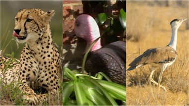 Recently Extinct Animals in India: Indian Cheetah, Pink-Headed Duck and Great Indian Bustard Are Extinct Due to Desertification