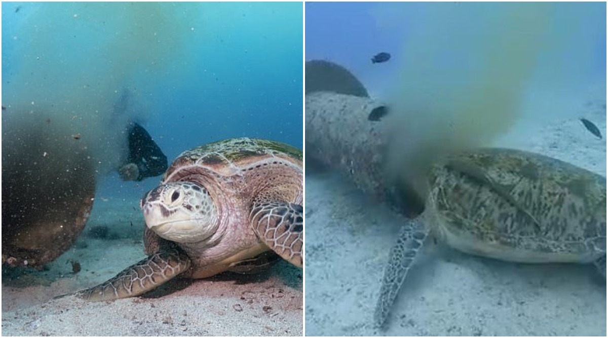 Endangered Green Sea Turtle Feeds on Waste From Underwater Sewage Pipe in Philippines's Boracay Island (Watch Video)