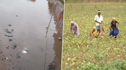Haryana Farmers Growing Crops With Sewage Water Due to Climate Change! Here's How