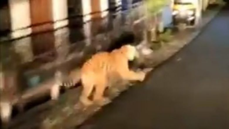 Tiger Spotted in Residential Area Near Jim Corbett National Park, 'Human-Wildlife Conflict' on Rise As Wildlife Corridors Shrink; Watch Video