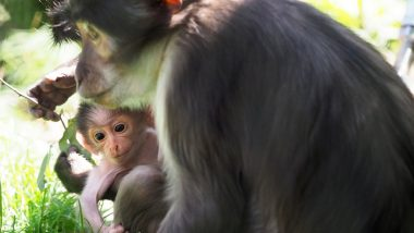 Rare Baby Monkey 'Buzz' in ZSL London Zoo is Named After Apollo 11 Astronaut Edwin Aldrin; View Adorable Pics of Mangabey Primate