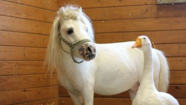 Waffles & Hemingway, Inseparable BFF Miniature Horse & Goose Gets Adopted Together And the Internet is Happy (Watch Video)