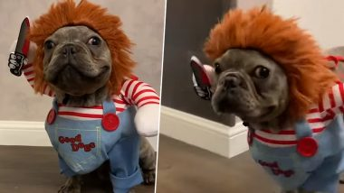 French Bulldog Looks a Little Too Adorable Dressed As 'Chucky' (Watch Viral Video)
