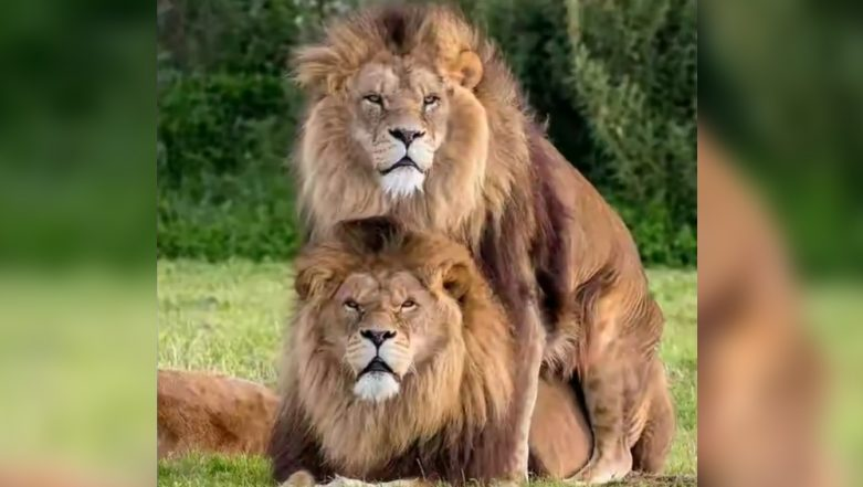 Gay Pride: Video of Male Lions Mating Goes Viral Reminding Us That Love is Love!