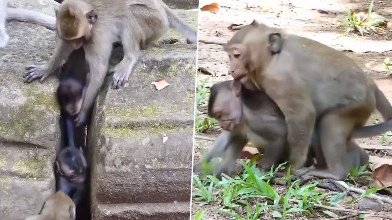 Mother Monkey Saves Her Baby Stuck in Narrow Slot, Viral Video Will Touch Your Heart