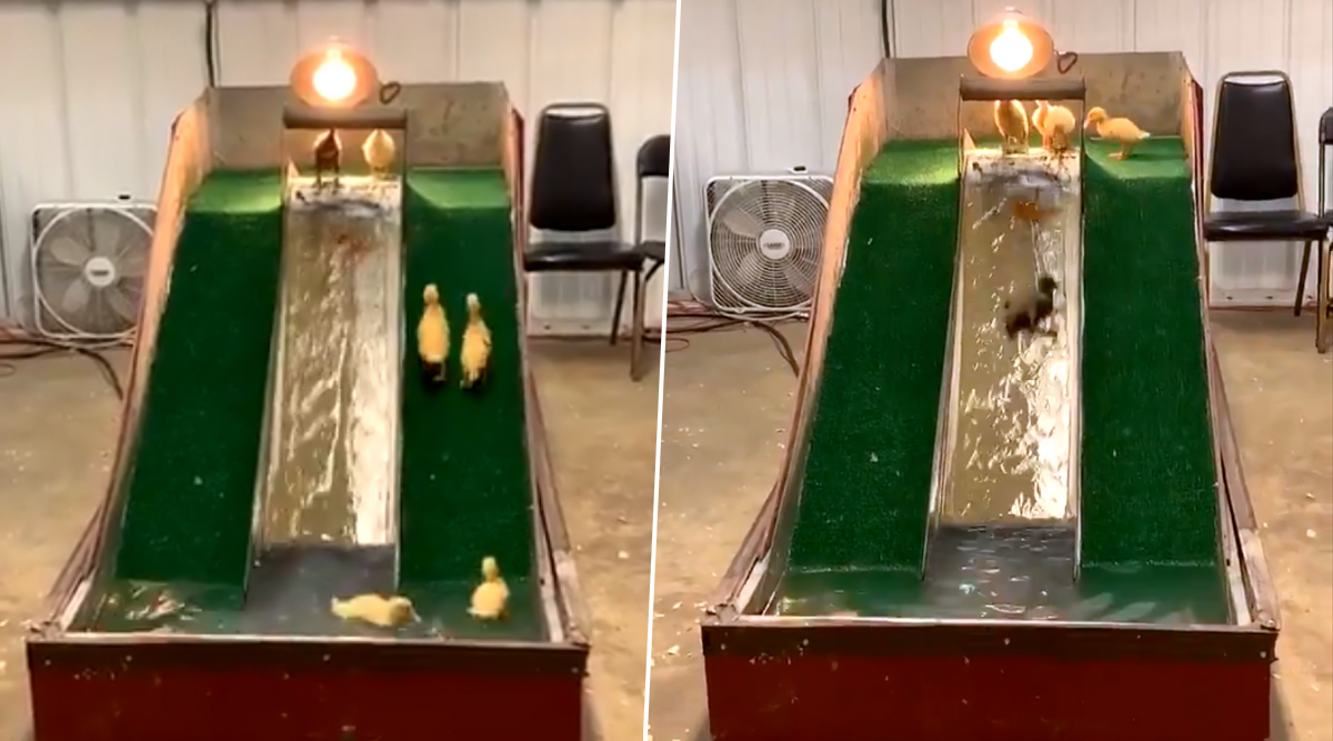 Cute Viral Video of Baby Ducks Playing With Water Slide Has Taken Over Twitter!