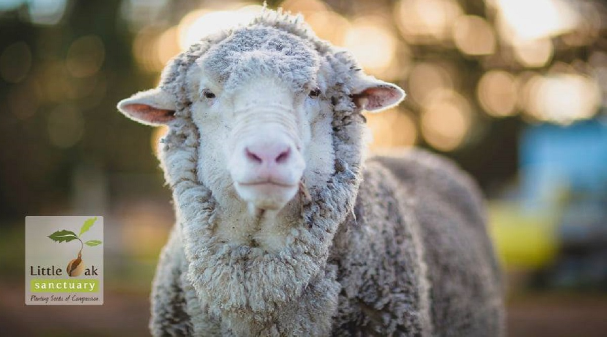 World's Wooliest Sheep, Chris Known as World's Heaviest Fleece Passes Away in Australia (See Pictures)