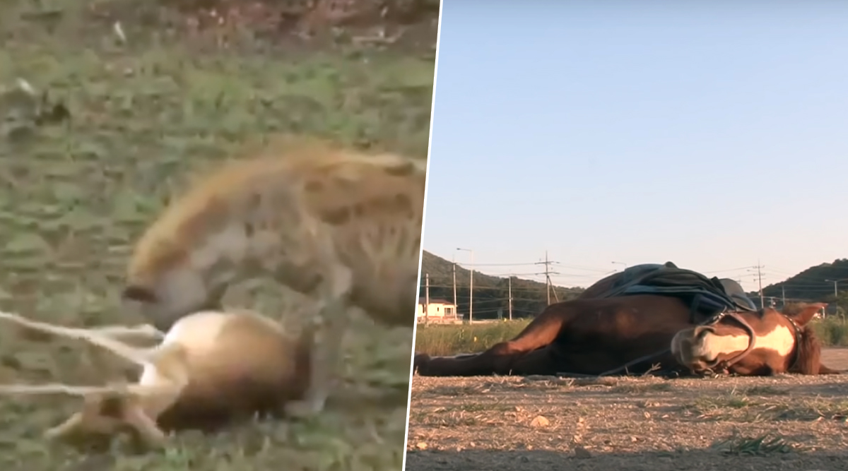 Duck Fools a Dog by Playing Dead! Other Times When Animals Faked Death to Escape From Tough Situations (Watch Viral Videos)