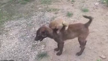 Dog Carries Abandoned Baby Monkey on Back to Police Station in Madhya Pradesh (Watch Video)