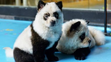 Chinese Cafe Dyes Dogs to Make Them Look Like Pandas, Receives Backlash (Watch Video)