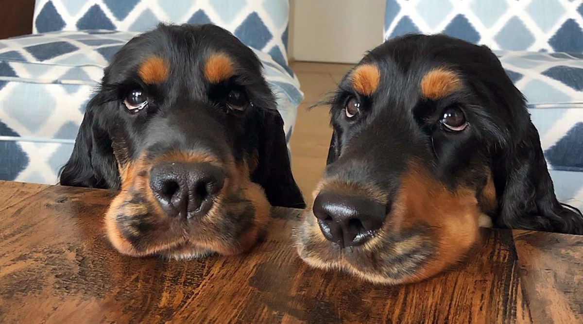 Dogs With Unbelievably Long Eyelashes Go Viral! Cocker Spaniel Pair From Italy is Everyone's Favourite on Social Media (View Pics and Videos)