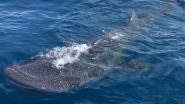 Endangered Whale Shark, the Largest Fish on Earth, Spotted off Florida Coast; Check Pics and Videos