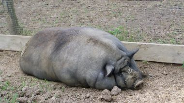 Pigs as Big as a Polar Bears Are Reared in China! Farmers Breed Giant Swines to Deal With Shortage