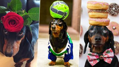 Adorable Dog Goes Viral For Balancing Objects on His Head! See Pictures of Harlso Perfectly Holding Everything From Roses to Doughnuts!