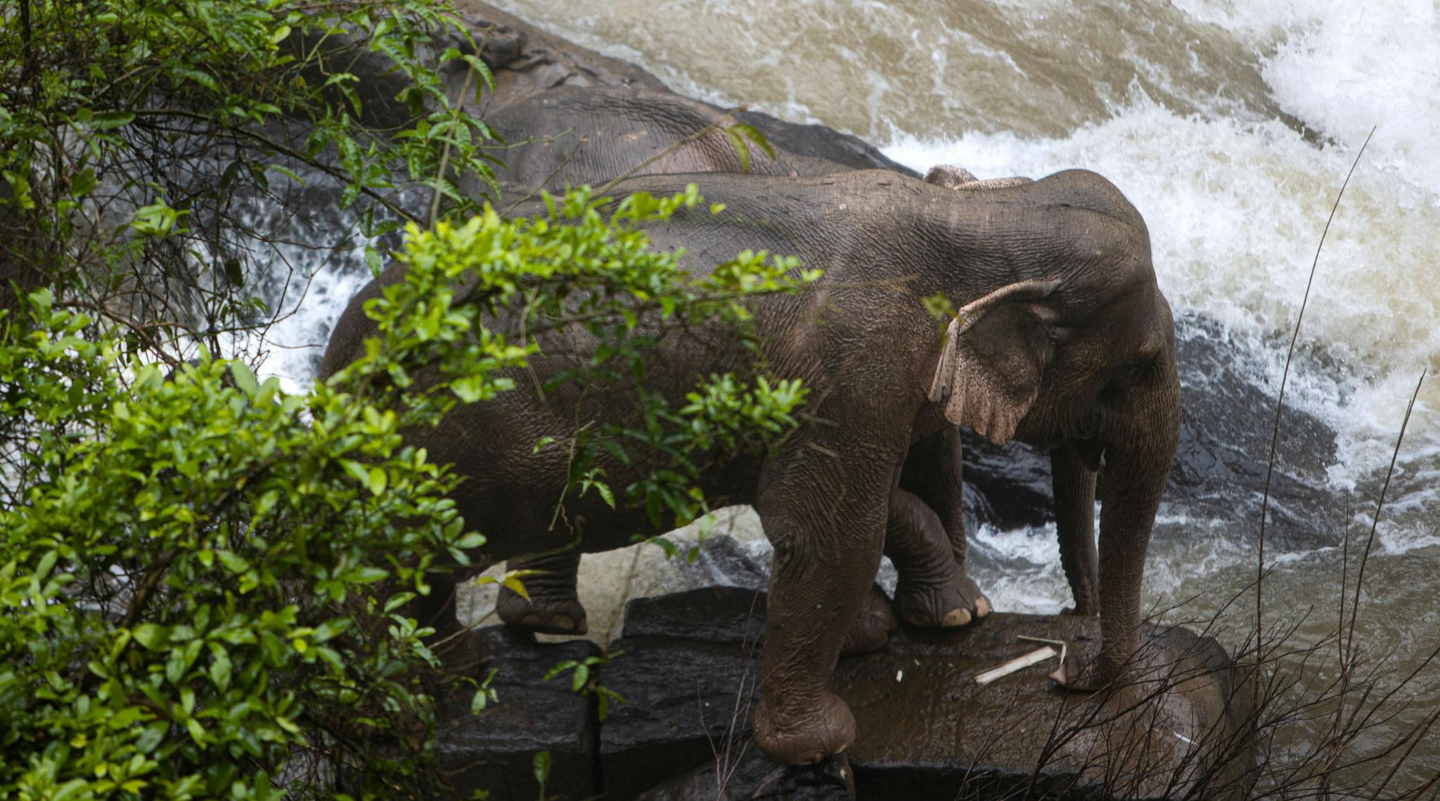 Bangkok: Six Wild Elephants Drown After Slipping Off Waterfall in Thailand Park