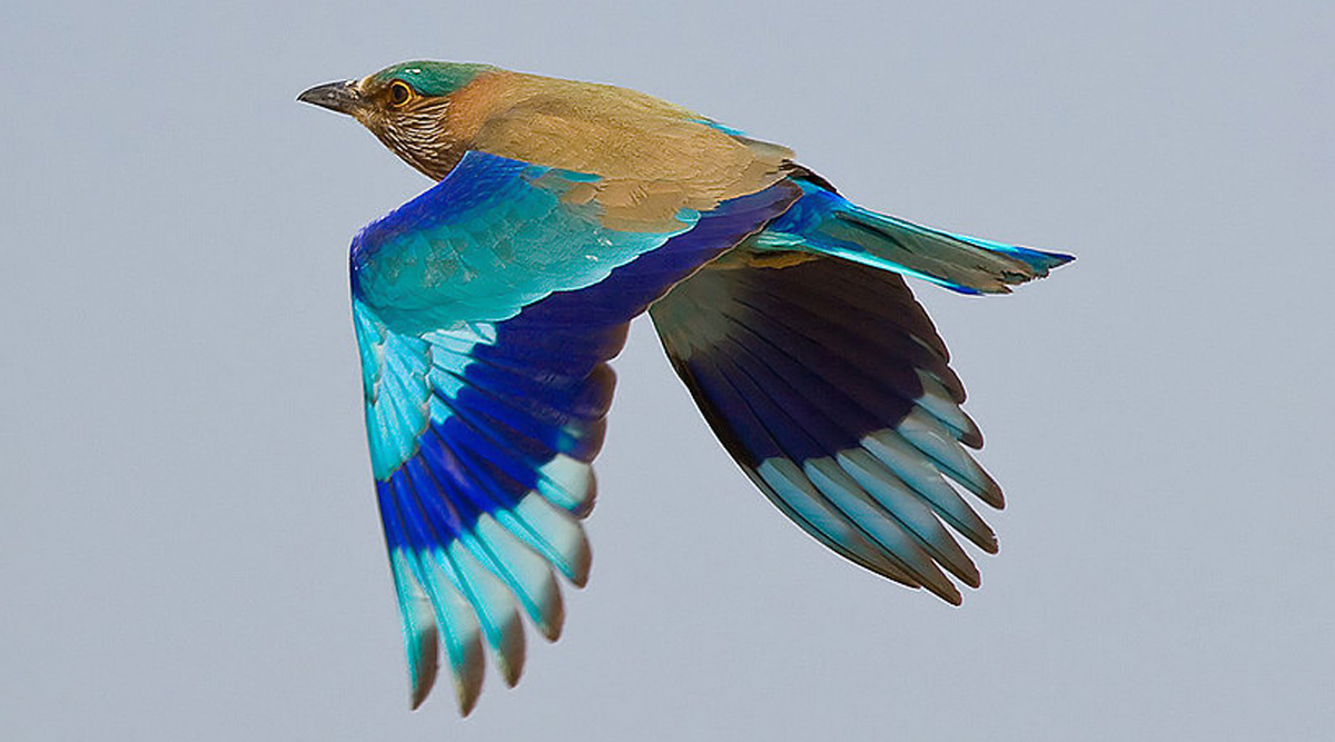 Did You Know Spotting Neelkanth Bird Is Considered Auspicious on Dussehra? Significance of the Popular Belief Related to Indian Roller or Blue Jay