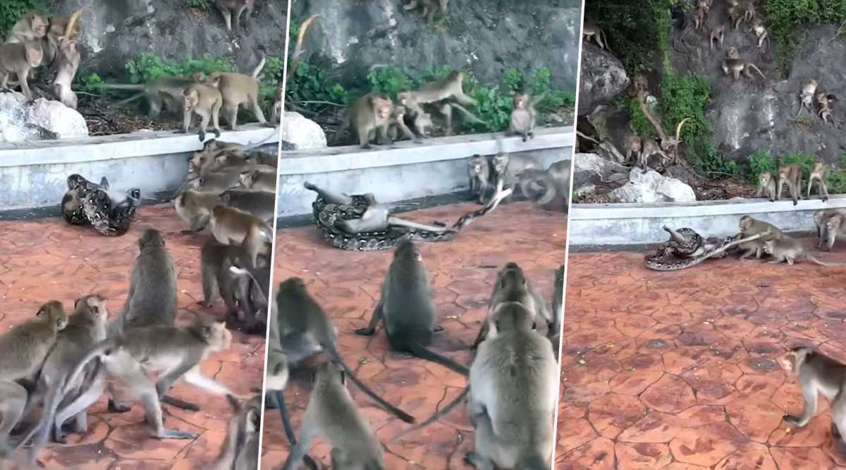 Thailand: Python Snake Strangles a Monkey to Death While More Than 20 Other Monkeys Tried to Save Their Friend (Watch Viral Video)