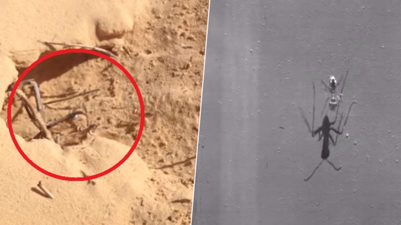 World's Fastest Ant Found! Saharan Silver Ant Races Across Scorching Desert at 855mm Per Second! (Watch Video)