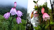 Shirui Lily Festival 2019 Begins in Manipur: Carpet of Rare Pink Flowers Attract Tourists to Ukhrul Town; Know All About The Annual Event (Pictures And Videos)