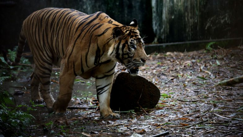 Tiger Mauls Two People, 14 Cattle in Bandipur National Park; Massive Hunt Launched by Karnataka Forest Department to Capture Big Cat