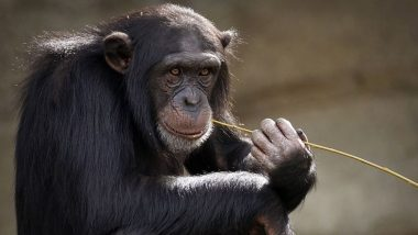 Chimpanzees Seen Dancing Like Human Conga-Line For 1st Time