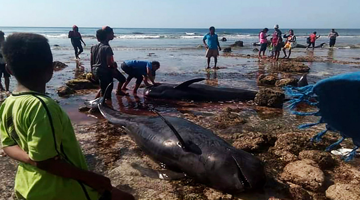 Seven Stranded Whales Found Dead in Indonesia Beach