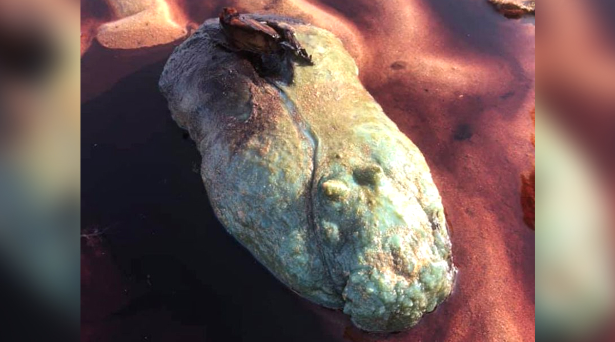 Alien-Like Fish With Blood Oozing Out of Its Body Found on Australian Beach (View Pic)