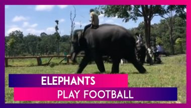 Elephants Play Football At Dubare Camp In Kodagu, Karnataka