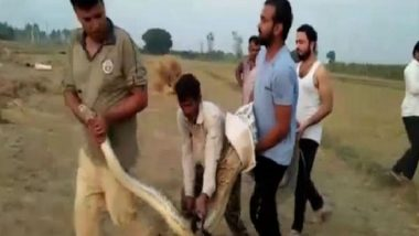 Uttar Pradesh: 15-Foot Long Python Rescued by Forest Department from Sugarcane Field