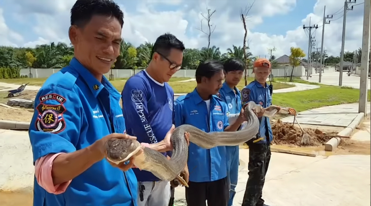 Four-Metre Long King Cobra Rescued From Sewer in Thailand (Watch Video)