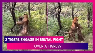 Two Ranthambore Tigers Engage In A Fierce Fight Over A Tigress, Act Caught On Camera