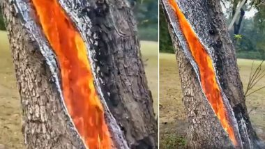 Viral Video Captures Fire Burning Inside a Tree After Lightning Strikes, Netizens Share Clips of More Such Bizarrely Beautiful Natural Phenomenon!