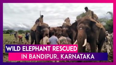 Wild Elephant Rescued With The Help Of Other Tamed Elephants In Bandipur, Karnataka