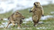 Wildlife Photographer of the Year 2019: Yongqing Bao Wins Prestigious Spot for Photo of Fox & Startled Marmot (View Viral Winning Pic)