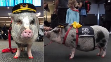 Meet Lilou, World's First Airport Therapy Pig at San Francisco Airport (Watch Video)