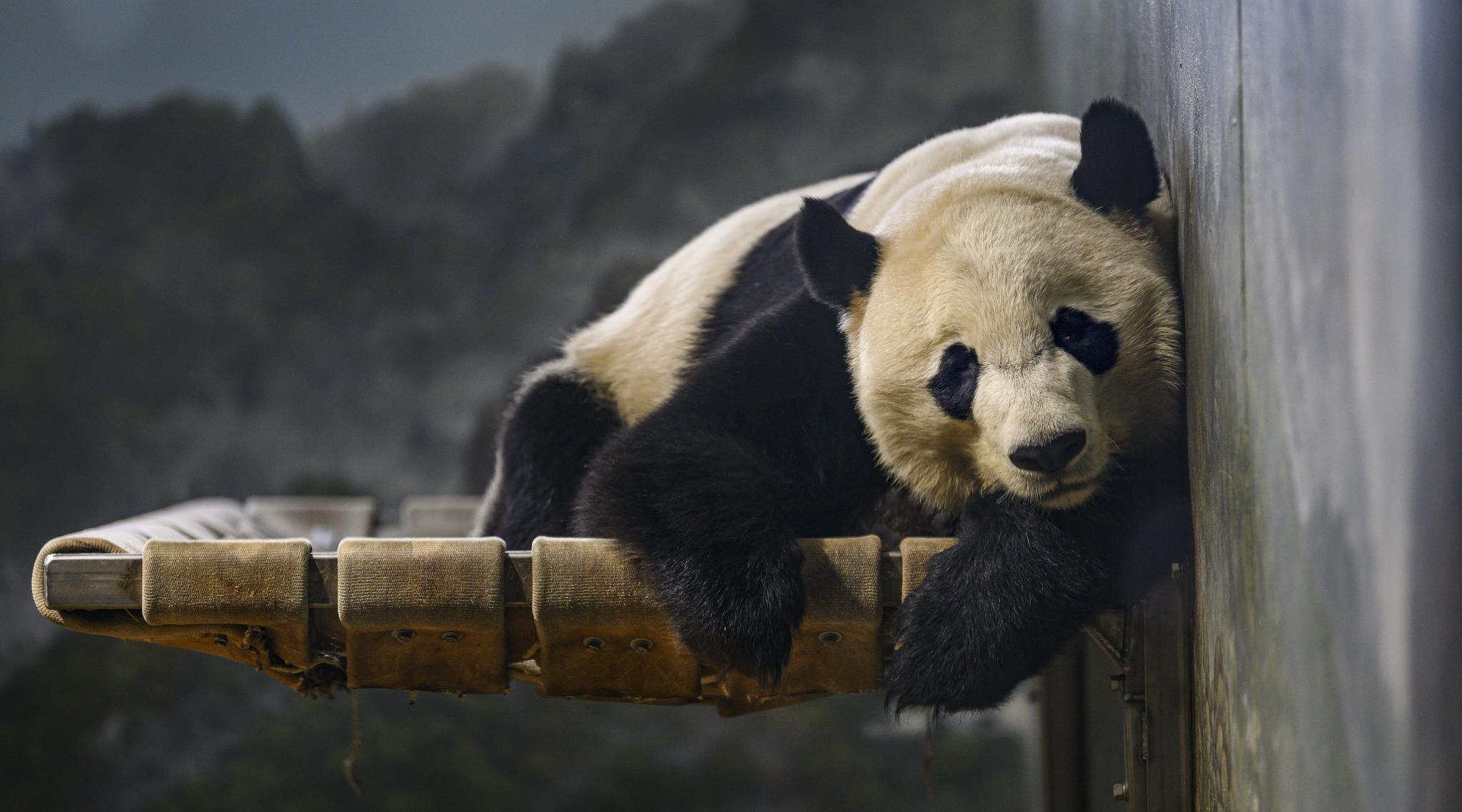Giant Panda Bei Bei From US Arrives At His New Home in China (Watch Video)