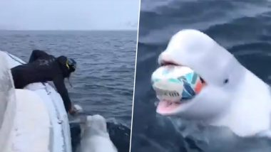 Beluga Whale Plays Fetch With Man on Boat; Adorable Video Delights Netizens!