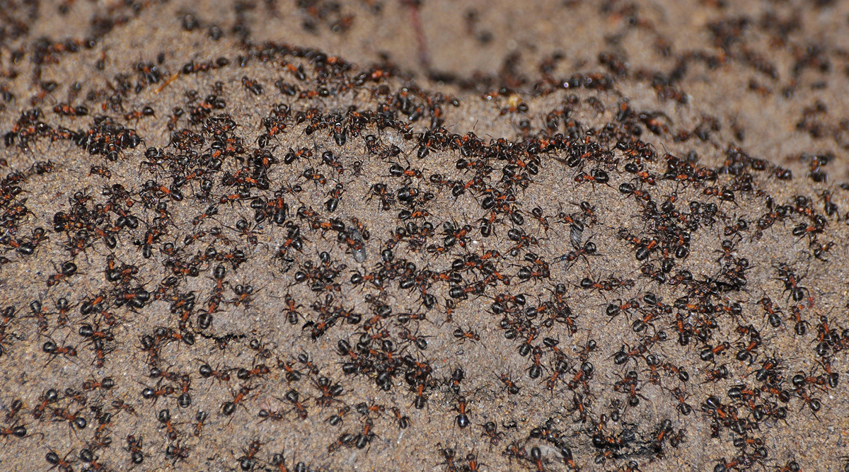 Cannibal Ant Colony Discovered at Poland's Abandoned Nuclear Bunker; Known All About Cannibalism and Shocking Facts Related to It
